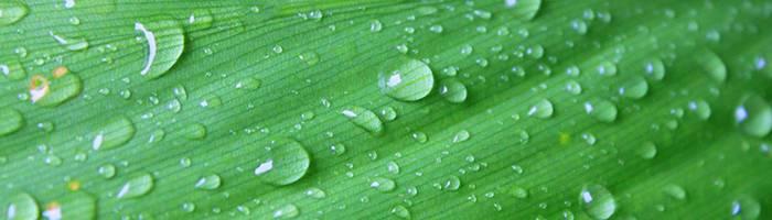 Tea tree leaf after rain